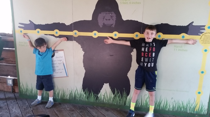 Even these two boys combined are smaller than the gorilla's arm lengths!